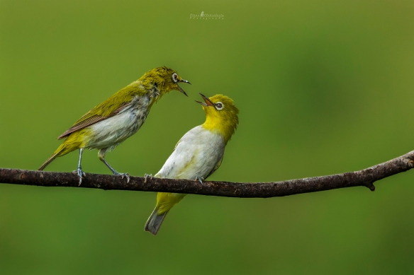 Stay away - no kisses for u - Oriental White Eye pair - Bangalore - 1F8A3137